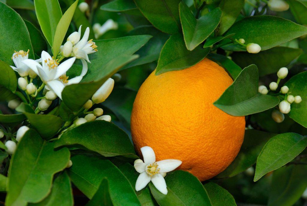 cbd terpenes bitter orange