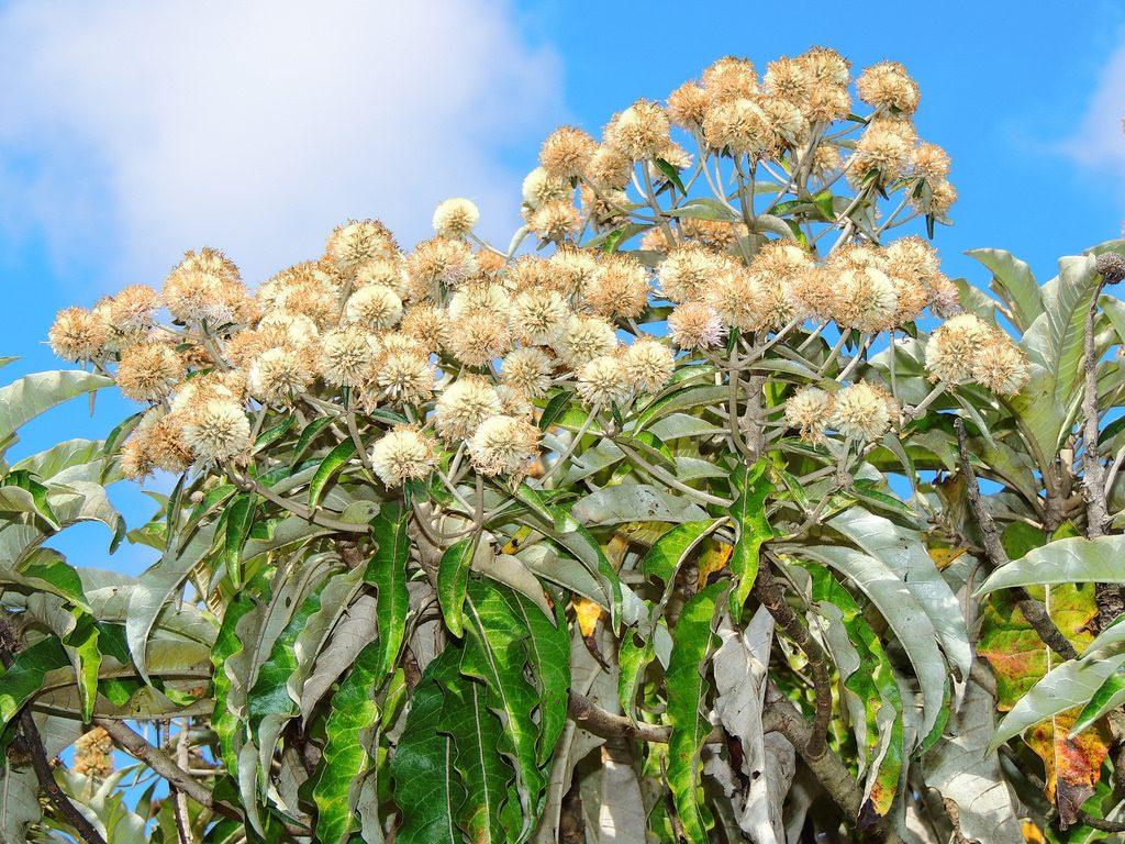 cbd terpenes eremanthus