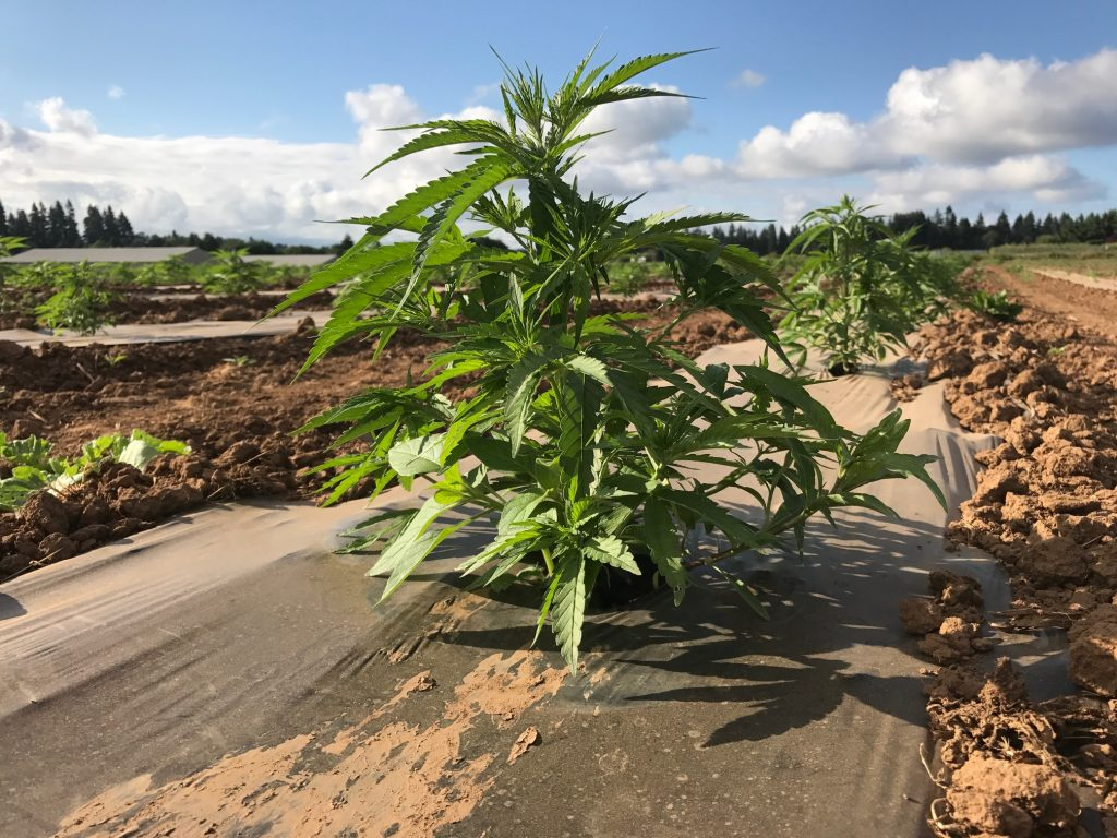 growing hemp a positive industry