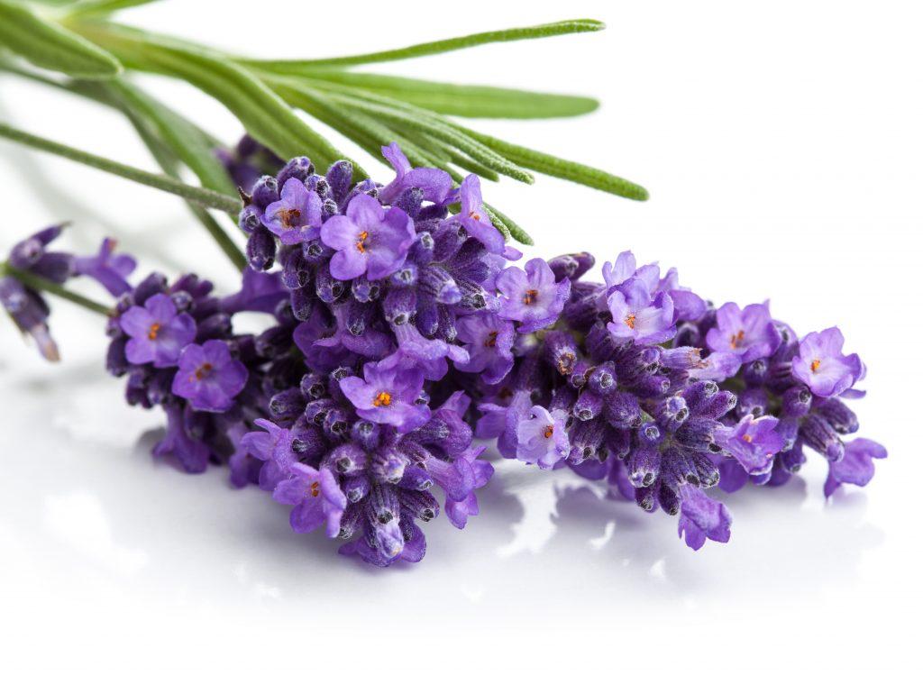 cbd terpenes lavender