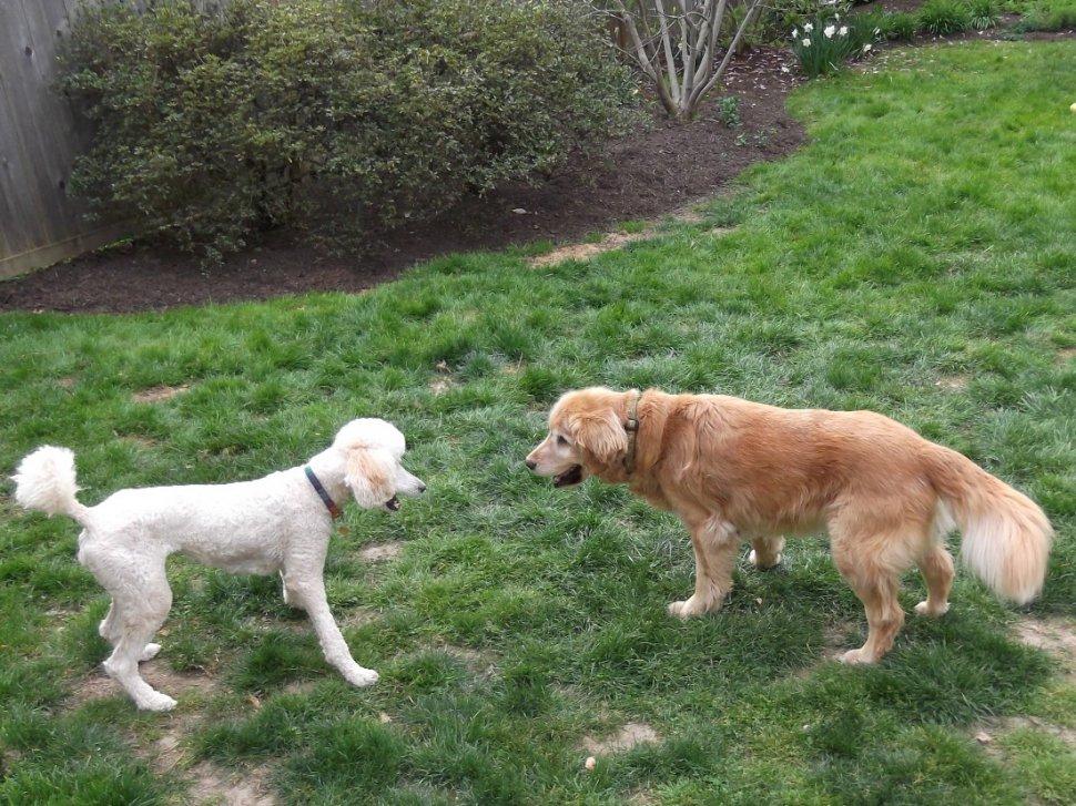Hemp genetics and dog hybrids